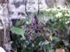 Néphila Araignée La Réunion