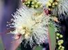 Fleur : Niaouli. Melaleuca quinquenervia.