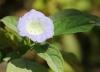 Nicandra physalodes. Fleur.