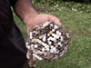 Nid de guêpe Polistes olivaceus