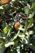 Noix de cajou. Anacardium occidentale