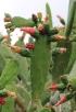 Nopalea cochenillifera (L.) Salm-Dyck.