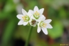 Nothoscordum gracile (Aiton) Stearn.