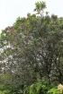 Nuxia verticillata Lam. Bois maigre