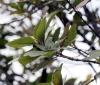 Nuxia verticillata Lam. Feuilles.