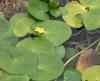 Nymphoides thunbergiana (Griseb.) Kuntze.