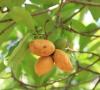 Ochrosia borbonica J.F. Gmel Bois jaune