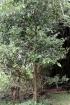 Ocotea obtusata (Nees) Kosterm
