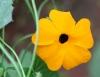 Fleur : Thunbergia alata. Oeil de Suzanne. Suzanne aux yeux noirs.