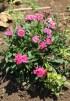 Dianthus chinensis, oeillet de chine.