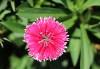 Fleur : Dianthus chinensis. Oeillet de chine.