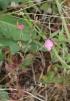 Oenothera rosea Aiton. Rose du Mexique. Onagre rose.