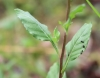 Oenothera rosea. Feuilles.