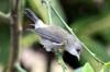 Zosterops borbonicus. Oiseau blanc endémique de La Réunion