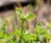 Oldenlandia goreensis (DC.) Summerh.
