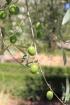 Olives, Olea europaea L.