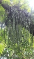 Ophioderma pendula (L.) C. Presl.