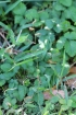 Oplismenus hirtellus (L.) P. Beauv.