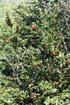 Triphasia trifoliata. Orangine