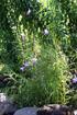 Arundina graminifolia. Orchidée Bambou