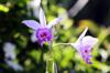 Fleurs : Orchidée Bambou. Arundina graminifolia.