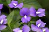 Achetaria azurea (Linden) V.C.Souza