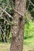 Pachira quinata (Jacq.) W.S.Alverson.