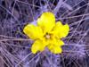 Fleur Pachypodium rosulatum