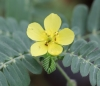 Tribulus cistoides. Herbe pagode