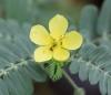 Tribulus cistoides L