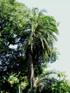Palmier du Sénégal ou Phoenix du Sénégal ou Dattier du Sénégal - Phoenix reclinata