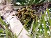 Palmier pêche Fruit Papérou - Bactris gasipaes