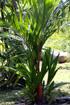 Cyrtostachys renda Blume, Palmier rouge à lèvres