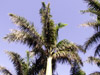 Roystonea regia (Kunth) O.F.Cook. Palmier royal.