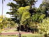 Palmier sagou. Arenga undulatifolia