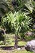 Thrinax radiata. Palmier Thrinax