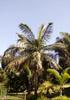 Palmiste blanc Dictyosperma album.