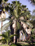 Dictyosperma album. Palmiste blanc.