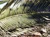 Dictyosperma album. Palmiste blanc : feuille.