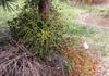 Palmiste poison ou Palmiste cochon Endémique de l'île de La Réunion