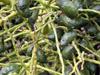 Palmiste poison ou Palmiste cochon Endémique de l'île de La Réunion : fruits