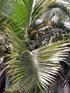 Palmiste poison ou Palmiste cochon Endémique de l'île de La Réunion : palmes