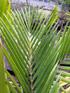 Acanthophoenix rubra (Bory) H. Wendl. Palmiste rouge.