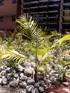 Acanthophoenix rousselii N. Ludw. Palmiste Roussel ou Palmiste trois-mares. Palmier endémique de La Réunion.