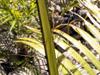 Acanthophoenix rousselii N. Ludw.