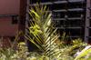 Palmiste roussel