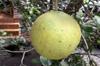 Pamplemousse. Citrus maxima