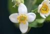 Citrus maxima (Burm.) Merr