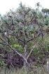 Pandanus montanus Bory.