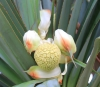 Pandanus utilis Bory. Fleur femelle.